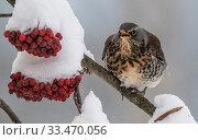 Купить «Fieldfare (Turdus pilaris) feeding on Rowan berries, Finland, December.», фото № 33470056, снято 3 апреля 2020 г. (c) Nature Picture Library / Фотобанк Лори