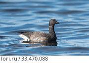 Купить «Brent Goose (Branta bernicla), swimming, Finland, October.», фото № 33470088, снято 25 мая 2020 г. (c) Nature Picture Library / Фотобанк Лори