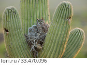 Купить «Great horned owl (Bubo virgininus) in nest with chicks in Saguaro cactus (Carnegiea gigantea) Sonoran desert, Arizona, USA.», фото № 33470096, снято 4 апреля 2020 г. (c) Nature Picture Library / Фотобанк Лори