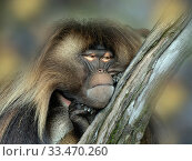 Gelada baboon (Theropithecus gelada) male resting. Captive, endemic to Ethiopia. Стоковое фото, фотограф Ernie  Janes / Nature Picture Library / Фотобанк Лори