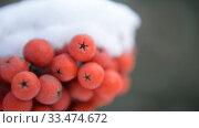 Купить «Рябина осенью крупным планом с первым снегом», видеоролик № 33474672, снято 15 февраля 2013 г. (c) Mikhail Erguine / Фотобанк Лори
