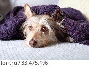Portrait of a cute dog relaxing under a warm jacket. Стоковое фото, фотограф Яна Королёва / Фотобанк Лори