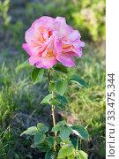 Rose. Pink flower in summer garden in summy day. Стоковое фото, фотограф Papoyan Irina / Фотобанк Лори