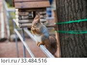 Купить «Рыжая белка ест орех в парку», фото № 33484516, снято 2 января 2020 г. (c) Литвяк Игорь / Фотобанк Лори