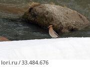Bombycilla garrulus. Свиристель ранней весной на берегу горной реки Белокуриха. Стоковое фото, фотограф Григорий Писоцкий / Фотобанк Лори