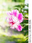 Купить «Pink flower peony flowering in sunny day», фото № 33486596, снято 4 июля 2012 г. (c) Papoyan Irina / Фотобанк Лори