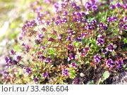 Купить «Цветущий чабрец в летнем саду», фото № 33486604, снято 4 июля 2012 г. (c) Papoyan Irina / Фотобанк Лори