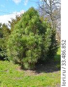 Купить «Сосна чёрная австрийская (Pinus nigra J.F.Arnold), молодое растение», фото № 33486852, снято 4 апреля 2020 г. (c) Ирина Борсученко / Фотобанк Лори