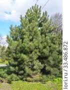 Купить «Сосна чёрная австрийская (Pinus nigra J.F.Arnold) в городском сквере», фото № 33486872, снято 4 апреля 2020 г. (c) Ирина Борсученко / Фотобанк Лори