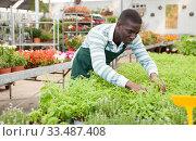 Купить «Florist arranging ornamental plants in pots», фото № 33487408, снято 22 мая 2019 г. (c) Яков Филимонов / Фотобанк Лори