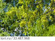 Купить «Цветущий дуб черешчатый (Quercus robur), солнечный день в мае. Аптекарский Огород (филиал ботанического сада МГУ). Москва.», фото № 33487968, снято 6 мая 2019 г. (c) Сергей Рыбин / Фотобанк Лори