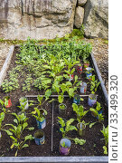 Купить «Mixed Lactuca sativa - Lettuces being grown organically in wooden box container in residential backyard organic garden in summer.», фото № 33499320, снято 25 июля 2017 г. (c) age Fotostock / Фотобанк Лори