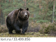 Купить «Brown Bear / Braunbaer ( Ursus arctos ), strong and powerful adult, walking, running over a clearing in boreal woods, coming near, full body frontal side view, Europe.», фото № 33499856, снято 9 октября 2016 г. (c) age Fotostock / Фотобанк Лори