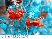 Купить «Beautiful blooming fuchsia in a city park on a summer day.», фото № 33501240, снято 17 июня 2017 г. (c) Акиньшин Владимир / Фотобанк Лори