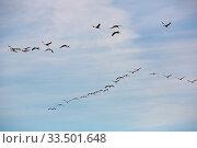 Купить «Flock of cranes flying in sky», фото № 33501648, снято 1 июня 2020 г. (c) Яков Филимонов / Фотобанк Лори