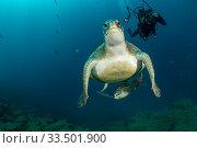 Купить «Scuba diver with two Green Turtles (Chelonia mydas), South Tenerife, Canary Islands, Atlantic Ocean.», фото № 33501900, снято 30 мая 2020 г. (c) Nature Picture Library / Фотобанк Лори