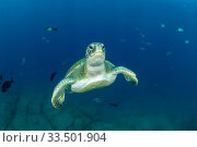 Купить «Green turtle (Chelonia mydas), South Tenerife, Canary Islands, Atlantic Ocean.», фото № 33501904, снято 30 мая 2020 г. (c) Nature Picture Library / Фотобанк Лори