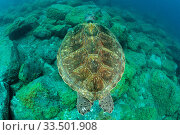 Купить «Green turtle (Chelonia mydas), South Tenerife, Canary Islands, Atlantic Ocean.», фото № 33501908, снято 30 мая 2020 г. (c) Nature Picture Library / Фотобанк Лори