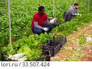 African-American farmer harvesting Swiss chard. Стоковое фото, фотограф Яков Филимонов / Фотобанк Лори