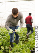 Portrait of man horticulturist picking mangold in greenhouse. Стоковое фото, фотограф Яков Филимонов / Фотобанк Лори