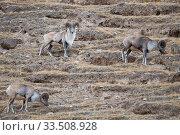 Altai argali sheep (Ovis ammon), three grazing on slope. Sanjiangyuan... Стоковое фото, фотограф Staffan Widstrand / Wild Wonders of China / Nature Picture Library / Фотобанк Лори