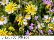 Купить «The plant (Senecio leucanthemifolius Poir.) grows close-up in spring», фото № 33508936, снято 11 марта 2020 г. (c) Татьяна Ляпи / Фотобанк Лори