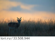 Przewalski's gazelle (Procapra przewalskii) in grassland at dusk.... Стоковое фото, фотограф Staffan Widstrand / Wild Wonders of China / Nature Picture Library / Фотобанк Лори