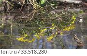 Купить «Marsh Marigold Caltha palustris, yellow spring flowers,Flowers reflect in the water,Shot in 4K UHD», видеоролик № 33518280, снято 19 апреля 2009 г. (c) Куликов Константин / Фотобанк Лори