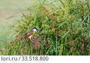 Great kiskadee (Pitangus sulphuratus) feeding amongst Sedges (Cyperaceae). Lower Rio Grande Valley, Linn, Hidalgo County, Texas, USA. July. Стоковое фото, фотограф Wendy Shattil / Nature Picture Library / Фотобанк Лори