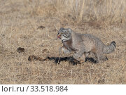 Pallas's cat (Otocolobus manul) running through steppe. East Mongolia. February. Стоковое фото, фотограф Sylvain Cordier / Nature Picture Library / Фотобанк Лори