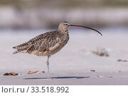 Купить «Long-billed curlew (Numenius americanus). Puerto San Carlos, Magdalena Bay, Baja California Sur, Mexico.», фото № 33518992, снято 31 мая 2020 г. (c) Nature Picture Library / Фотобанк Лори
