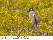 Купить «Yellow-crowned night heron (Nyctanassa violacea) perched in tree. Puerto San Carlos, Baja California Sur, Mexico.», фото № 33519032, снято 13 июля 2020 г. (c) Nature Picture Library / Фотобанк Лори