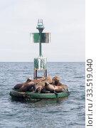 California sea lion (Zalophus californianus), group resting on buoy. Puerto San Carlos, Magdalena Bay, Baja California Sur, Mexico. Стоковое фото, фотограф Sylvain Cordier / Nature Picture Library / Фотобанк Лори