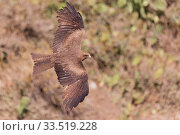Yellow-billed kite (Milvus aegyptius) in flight. Debre Libanos, Rift Valley, Ethiopia. Стоковое фото, фотограф Sylvain Cordier / Nature Picture Library / Фотобанк Лори