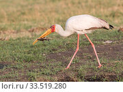 Купить «Yellow-billed stork (Mycteria ibis) with fish in beak. Chobe National Park, Botswana.», фото № 33519280, снято 31 мая 2020 г. (c) Nature Picture Library / Фотобанк Лори