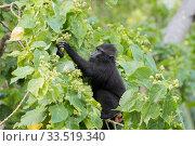 Купить «Celebes crested macaque (Macaca nigra), young animal picking fruit in tree. Tangkoko National Park, Sulawesi, Indonesia.», фото № 33519340, снято 5 июня 2020 г. (c) Nature Picture Library / Фотобанк Лори