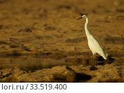 Купить «Little Egret (Egretta garzetta) at the Moorehead River crossing in Lakefield National Park. Cape York Peninsula, Queensland, Australia.», фото № 33519400, снято 29 мая 2020 г. (c) Nature Picture Library / Фотобанк Лори