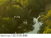 Black-necked stork (Ephippiorhynchus asiaticus) flying over Archer River and adjacent gallery forest. Piccaninny Plains Sanctuary, Cape York Peninsula, Queensland, Australia. Стоковое фото, фотограф Tim  Laman / Nature Picture Library / Фотобанк Лори