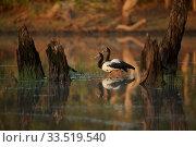 Купить «Magpie Goose (Anseranas semipalmata) at sunrise Lotusbird Billabong, Cape York Peninsula Queensland, Australia», фото № 33519540, снято 25 мая 2020 г. (c) Nature Picture Library / Фотобанк Лори