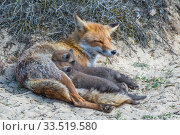 Red fox (Vulpes vulpes) female with suckling cubs, age five weeks, the Netherlands. Стоковое фото, фотограф Edwin Giesbers / Nature Picture Library / Фотобанк Лори