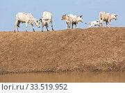 Купить «Burferedo, Somali Region, Ethiopia - Cow herd at a water trough», фото № 33519952, снято 11 ноября 2019 г. (c) Caro Photoagency / Фотобанк Лори