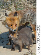 Купить «Red fox (Vulpes vulpes) female with cub, age five weeks the Netherlands.», фото № 33520232, снято 4 июня 2020 г. (c) Nature Picture Library / Фотобанк Лори