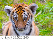Купить «RF - Siberian tiger (Panthera tigris altaica) cub, age three months, portrait. Captive. (This image may be licensed either as rights managed or royalty free.)», фото № 33520240, снято 2 июня 2020 г. (c) Nature Picture Library / Фотобанк Лори