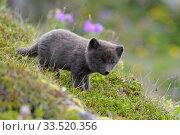 RF - Arctic fox cub (Alopex lagopus) at den. Hornvik, Hornstrandir, Westfjords, Iceland. July. (This image may be licensed either as rights managed or royalty free.) Стоковое фото, фотограф Terry  Whittaker / Nature Picture Library / Фотобанк Лори