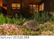 Купить «European hedgehog (Erinaceus europaeus), in urban garden at night, Manchester, UK», фото № 33520384, снято 25 мая 2020 г. (c) Nature Picture Library / Фотобанк Лори