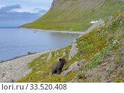 Купить «Arctic fox cub (Alopex lagopus) along the coast at Hornvik, Hornstrandir, Westfjords, Iceland. July.», фото № 33520408, снято 14 июля 2020 г. (c) Nature Picture Library / Фотобанк Лори