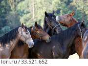 Graditz stud farm, horses in the pasture put their heads together. Стоковое фото, агентство Caro Photoagency / Фотобанк Лори