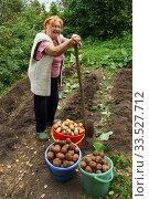 Бабушка на картофельном поле. Сбор урожая. Стоковое фото, фотограф Щеголева Ольга / Фотобанк Лори
