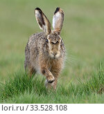 Купить «Brown Hare / European Hare / Feldhase ( Lepus europaeus ) running through a meadow directly towards the camera, frontal shot, wildlife, Europe.», фото № 33528108, снято 25 апреля 2019 г. (c) age Fotostock / Фотобанк Лори