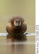 Купить «Little Grebe / Zwergtaucher ( Tachybaptus ruficollis ), adult in breeding dress, funny frontal view, shaking off its feathers, plumage, wildlife..», фото № 33528272, снято 23 марта 2015 г. (c) age Fotostock / Фотобанк Лори